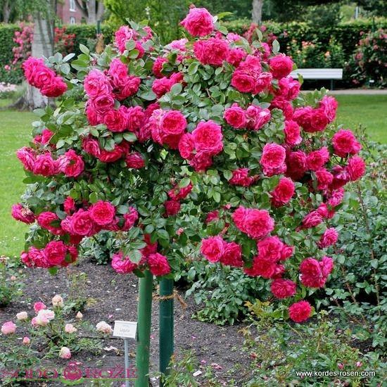 Stiebinė svyranti rožė KNIRPS