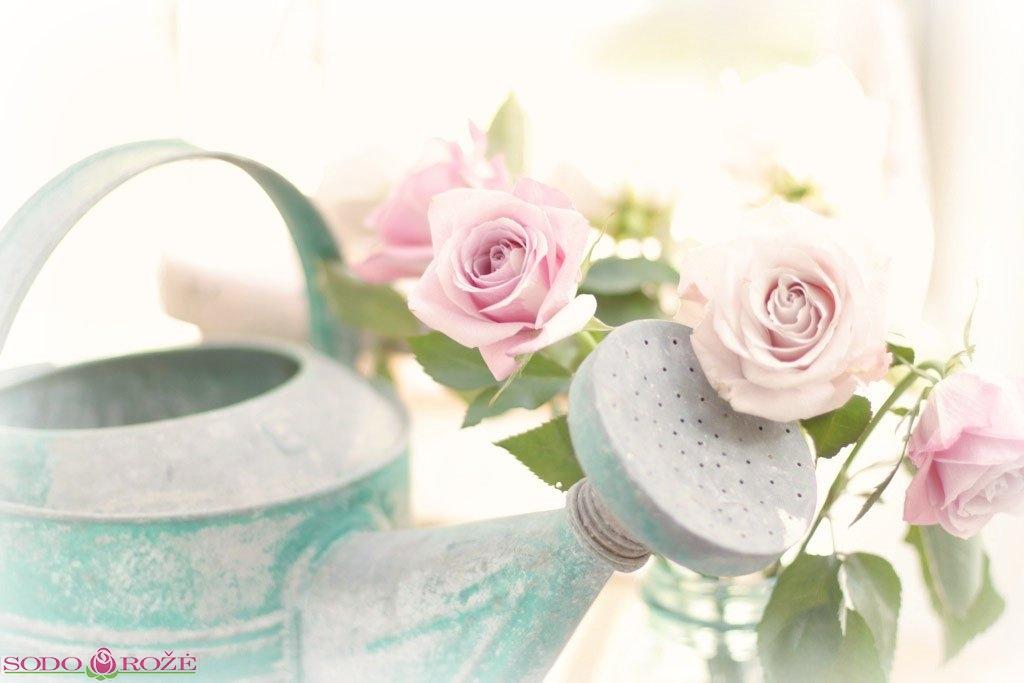 Laikinai stabdoma prekyba pirmametėmis rožėmis.