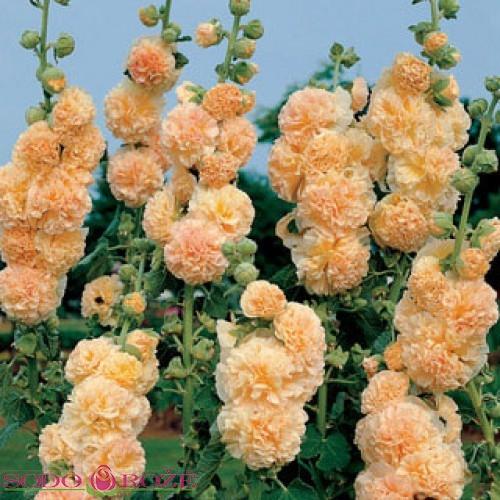 Daugiametės gėlės