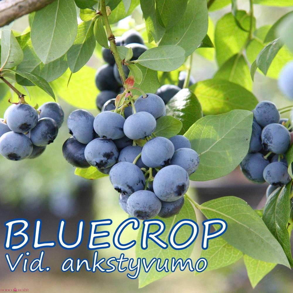Šilauogė  Bluecrop