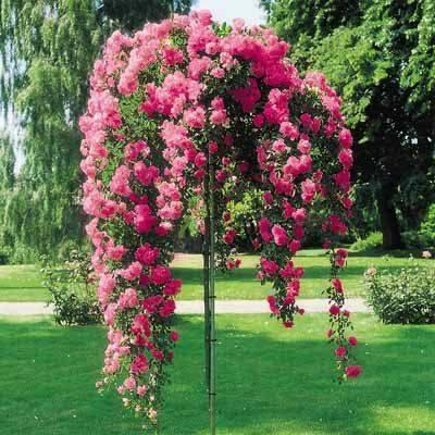 Stiebinė svyranti rožė (EXC)