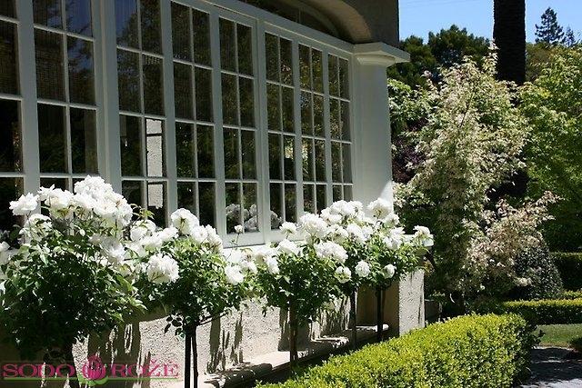 Stiebinė rožė balta daugiažiedė wm