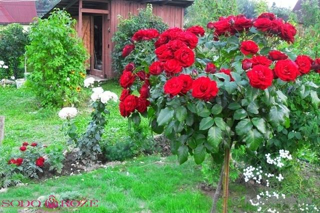 Stiebinė rožė didžiažiedė raudonos spalvos [Burgund]