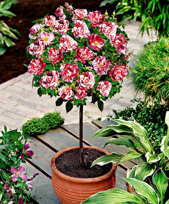 Stiebinė rožė margais žiedais (PPG)