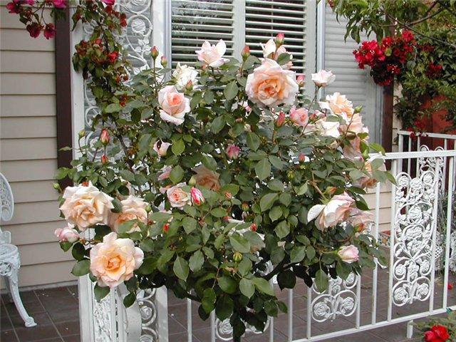 Stiebinė rožė kreminės spalvos (Malaga)
