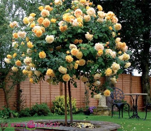Stiebinė rožė auksinės spalvos (Rostock)