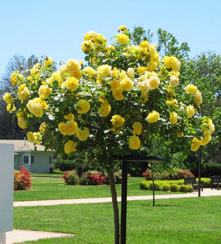Stiebinė rožė geltona daugiažiedė (AD)