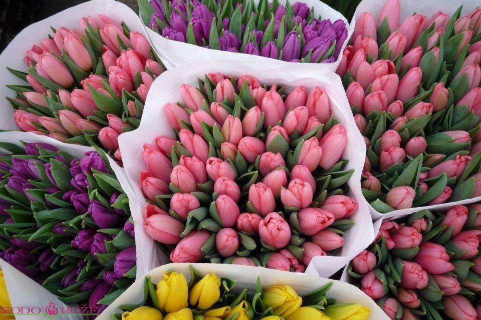 Tulpių pakuotė (50vnt.)