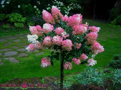 Šluotelinė hortenzija ant stiebo