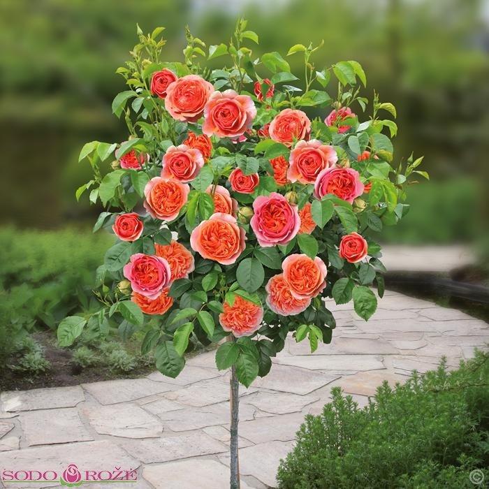 Stiebinė rožė persikinė daugiažiedė (FCHP)