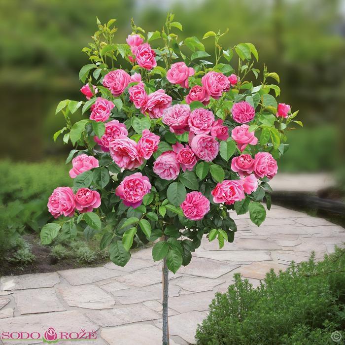 Stiebinė daugiažiedė rožinė rožė LEONARDO Da  Vinci