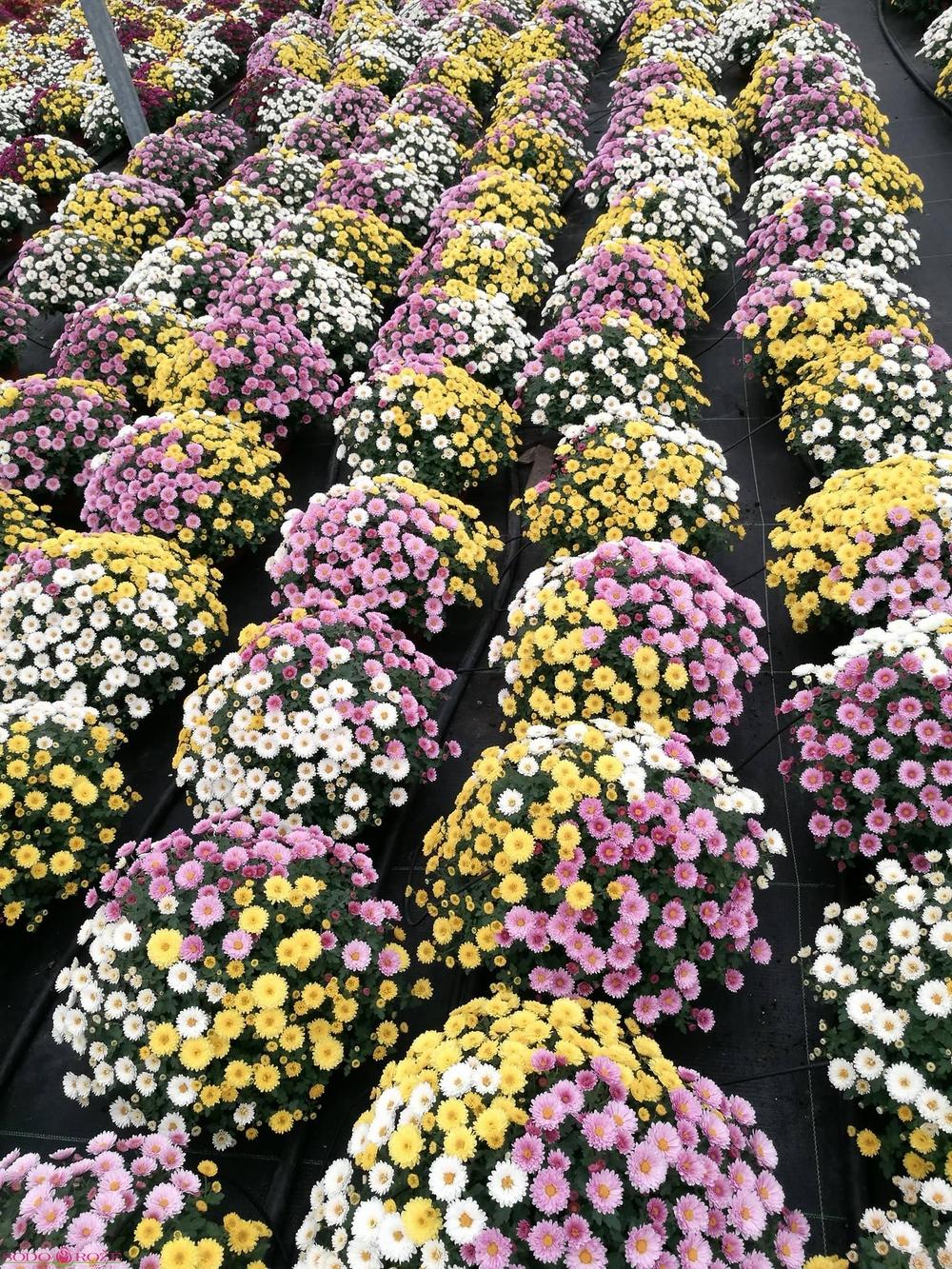 Trispalvė chrizantema (MIX) 2vnt.