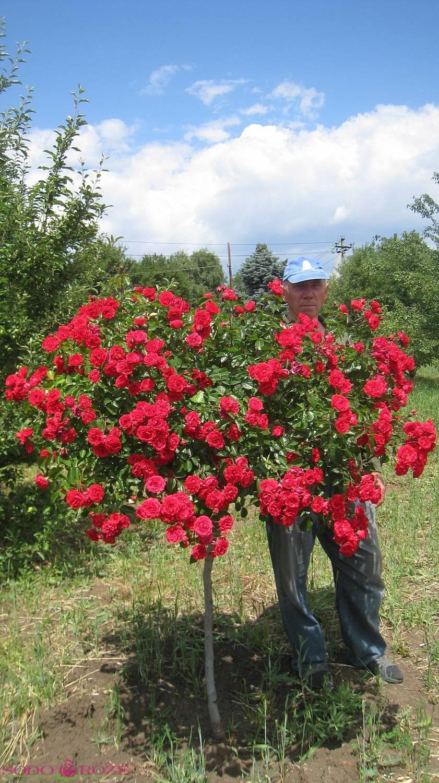 Stiebinė rožė raudona daugiažiedė (ML)