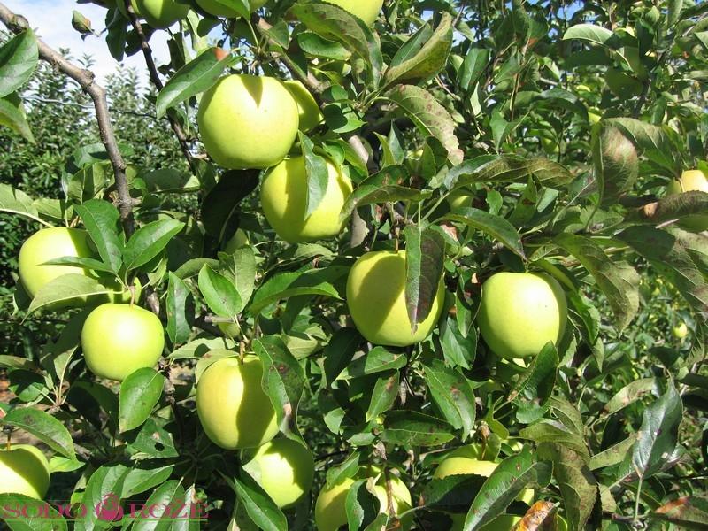 Obelis Alyvinė