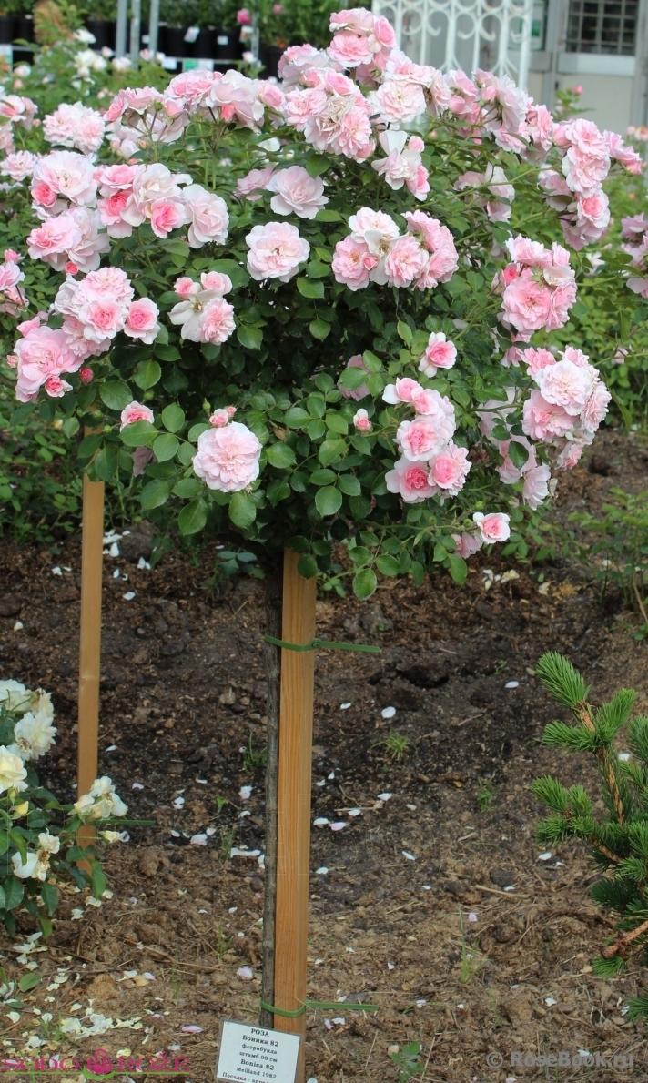 Stiebinė rožė švelniai rožinė daugiažiedė (BNK)