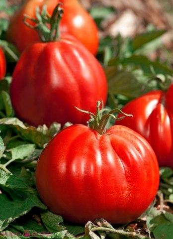 Skiepytas pomidoras Corazon