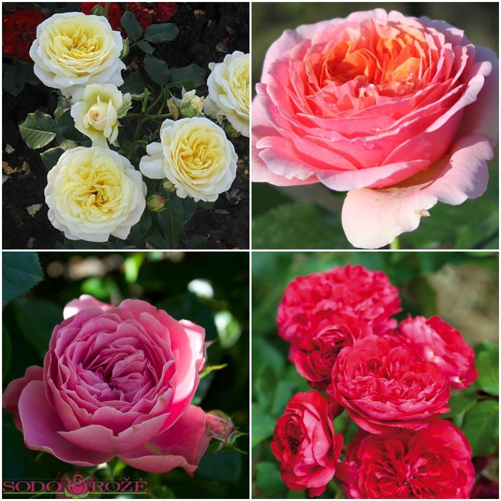Daugiažiedžių rožių rožynas