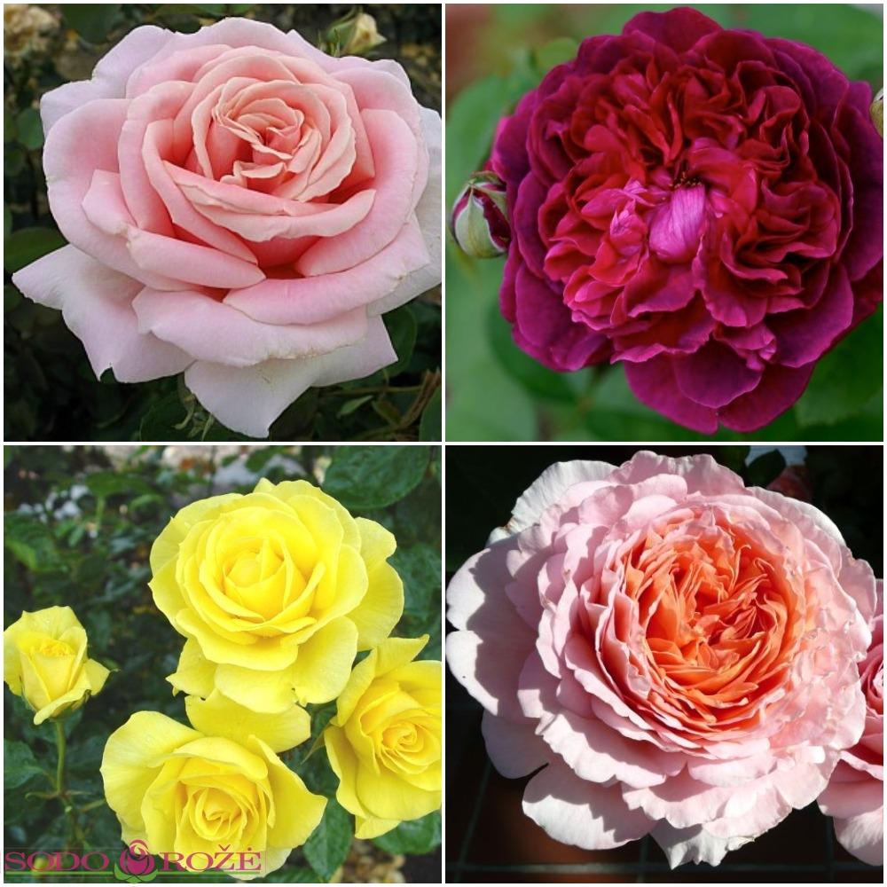 Kvepiantis rožynas