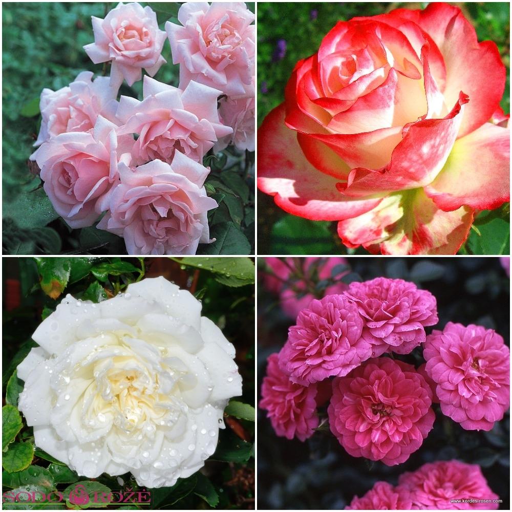 Rožynas NR1