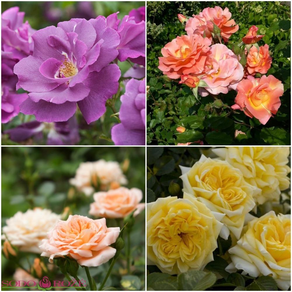 Rožynas NR 2