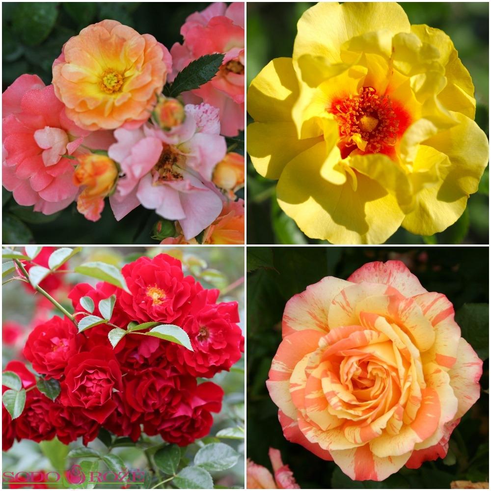 Rožynas NR 3
