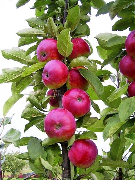 Koloninė obelis Uldis
