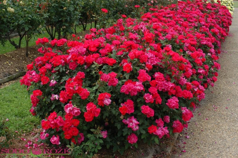 Rožių išpardavimas