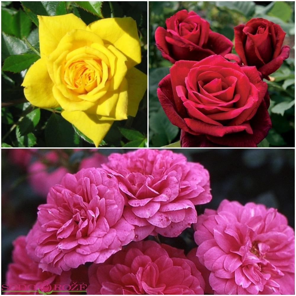 Žemų rožių rožynas