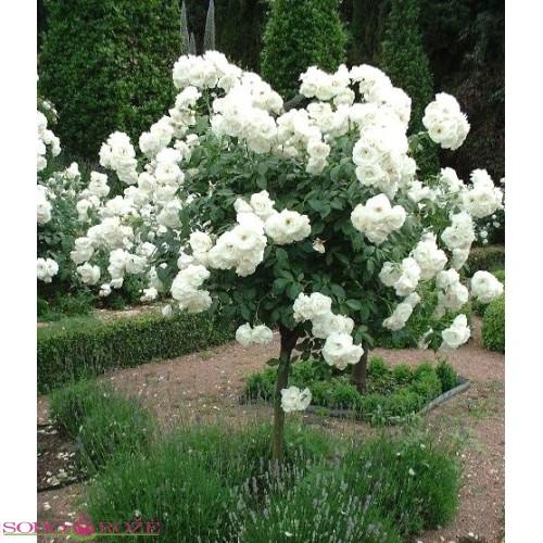 Stiebinė svyranti rožė balta (SSB)