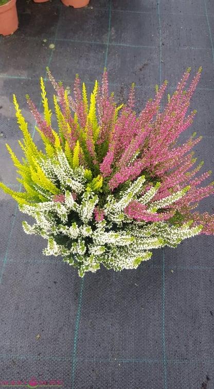 Viržis trispalvis (Balta+rožinė+geltona)