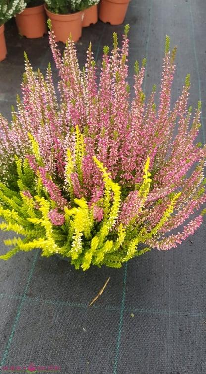 Viržis trispalvis (Violetinė+rožinė+geltona)