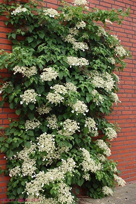 Hortenzija laipiojančioji (Hydrangea anomala subsp. petiolaris)