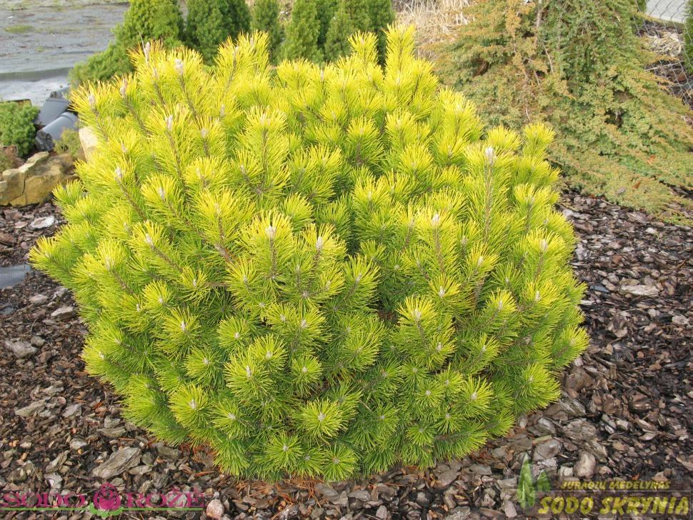 Pušis kalninė  (Pinus mugo) 'Ophir'