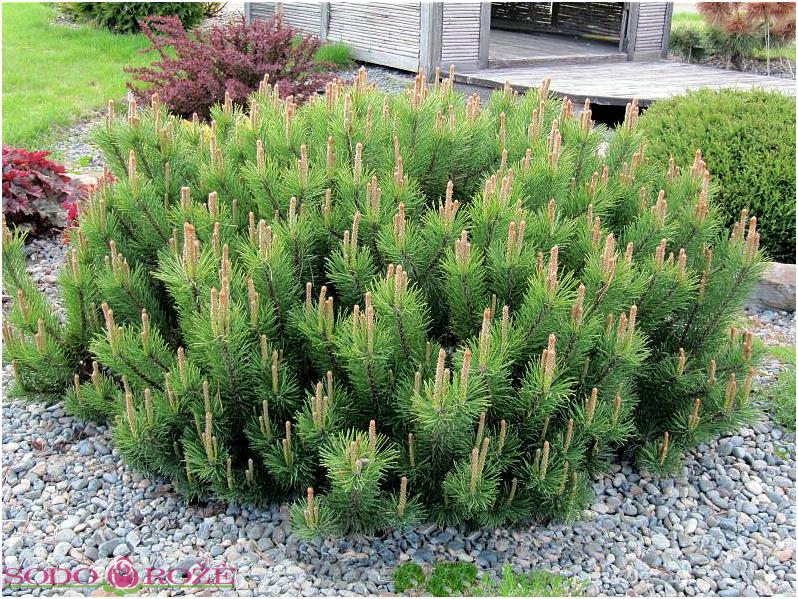 Pušis kalninė var. pumilio (Pinus mugo)