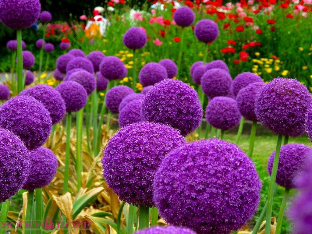 Svogūninės gėlės