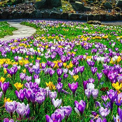 Krokai didžiažiedžiai pavasariniai MIX