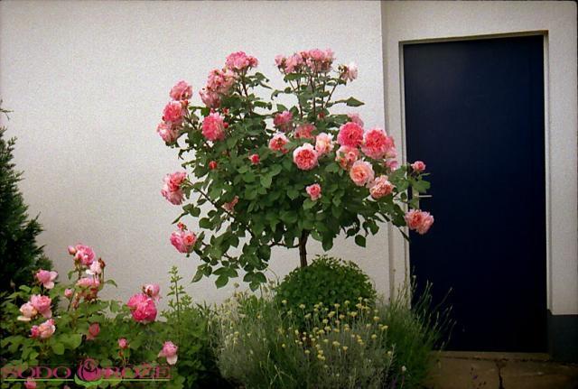 Stiebinė parko rožė (Augusta Luise)