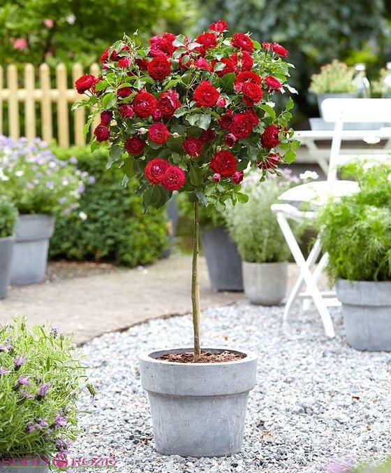 Stiebinė rožė (Hommage a Barbara)