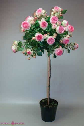 Stiebinė parko rožė (Eden)