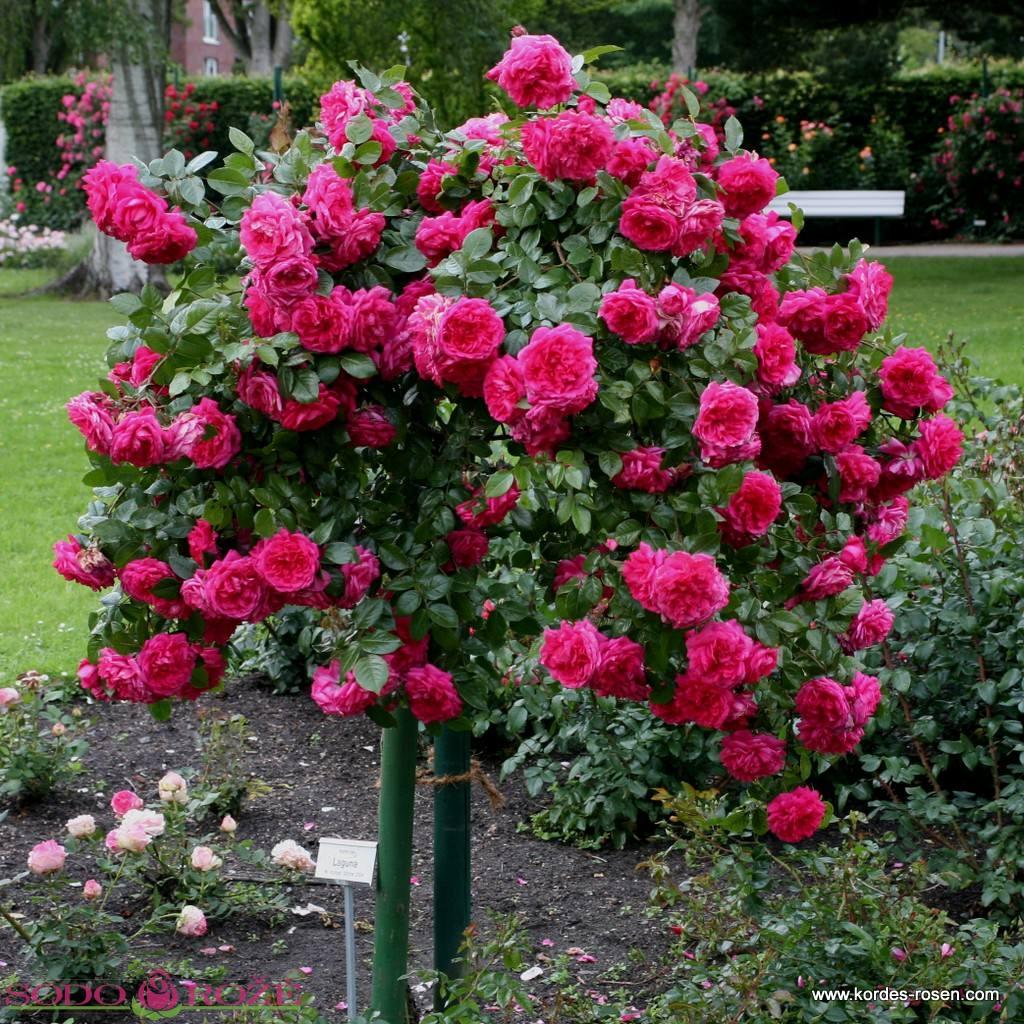 Stiebinė rožė daugiažiedė raudonos spalvos [Florentina]