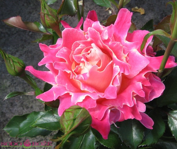 Pink Lady Ruffles