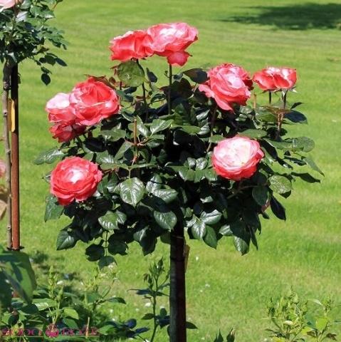 Stiebinė rožė dvispalvė didžiažiedė (Atlas)