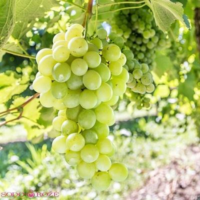 Vynuogė Himrod