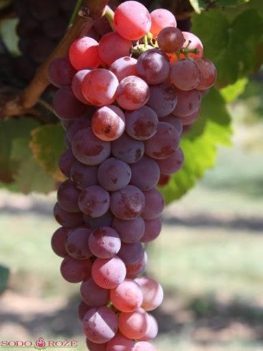 Vynuogė Canadice