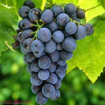 Vynuogė Venus