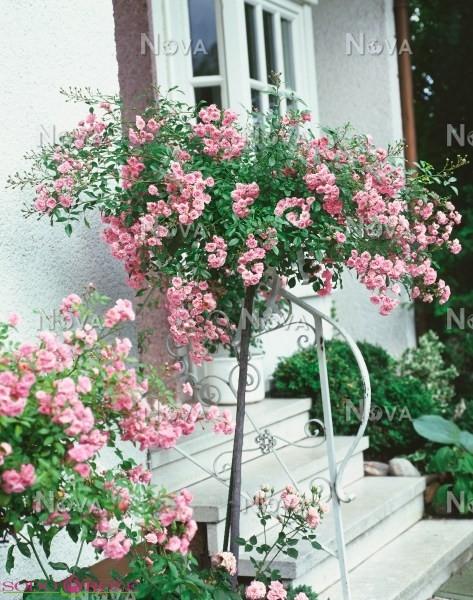 Stiebinė rožė (Margo Koster)