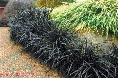 Dekoratyvinė žolė