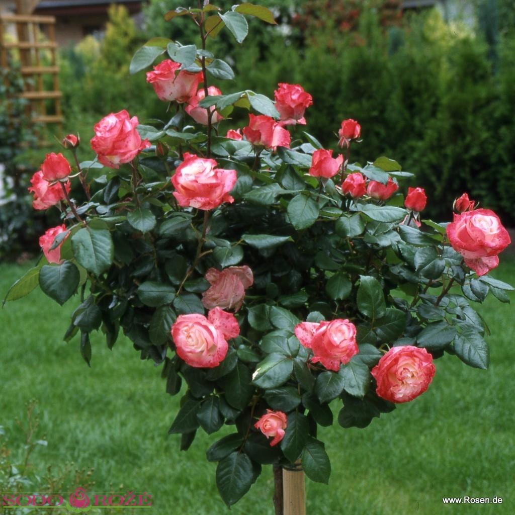 Stiebinė rožė (Princess De Monaco)