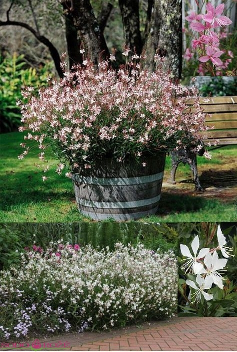 Gaura Gracefull White